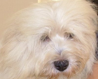 Coton de tulear puppies coton de tulear puppies from for Miroir de galadriel